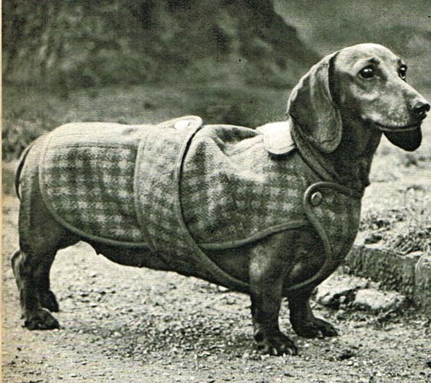 Dachshund coat